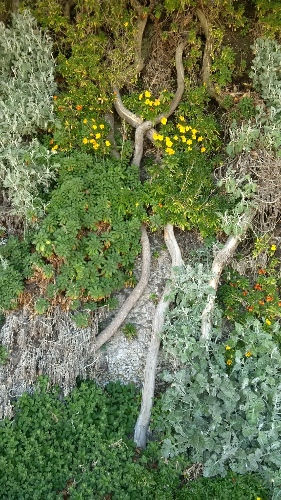 Wallflower, Madeira Drive green wall, Brighton