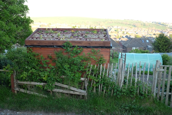 shed green roof on allotment in Brighton