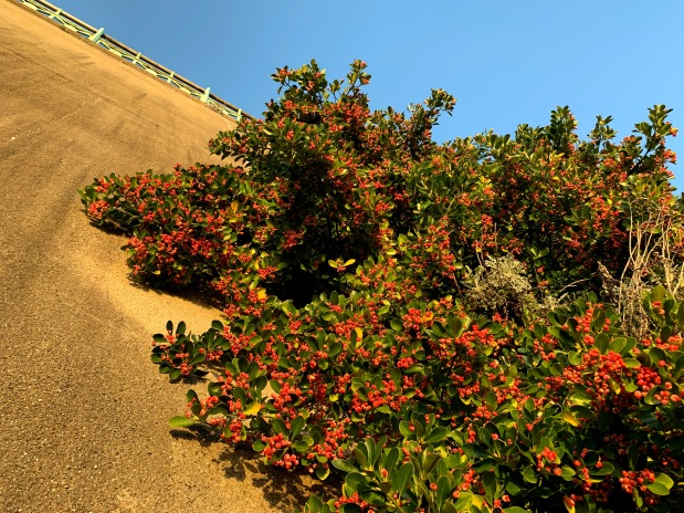 Beautiful berries – this winter the green wall at Madeira Drive bears more fruit than average. Here are six interesting facts about this amazingplant
